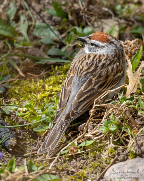 Comfortable Chipping Sparrow