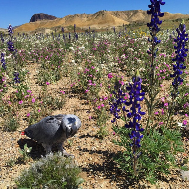 African Grey parrot in Big Bend bluebonnets