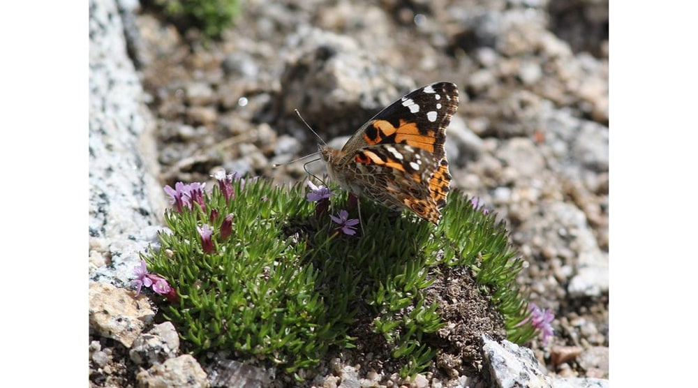 Painted Lady Butterfly atop alpine flowers