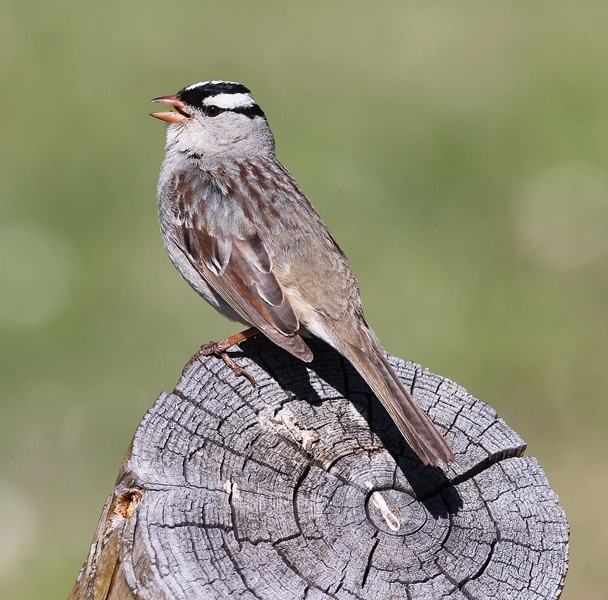 Male White-crowned Sparrow sings in search of his Lady Love
