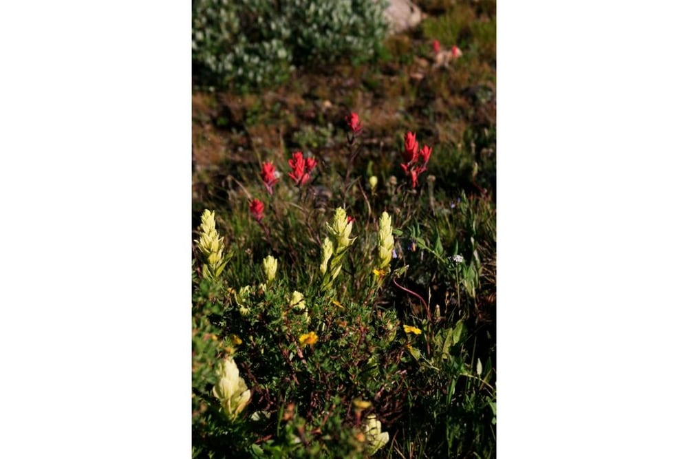 Mixed Scarlet and Western Indian Paintbrush