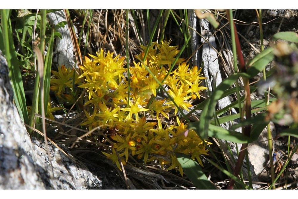 Spearleaf Stonecrop - can be found from the Plains to the Alpine