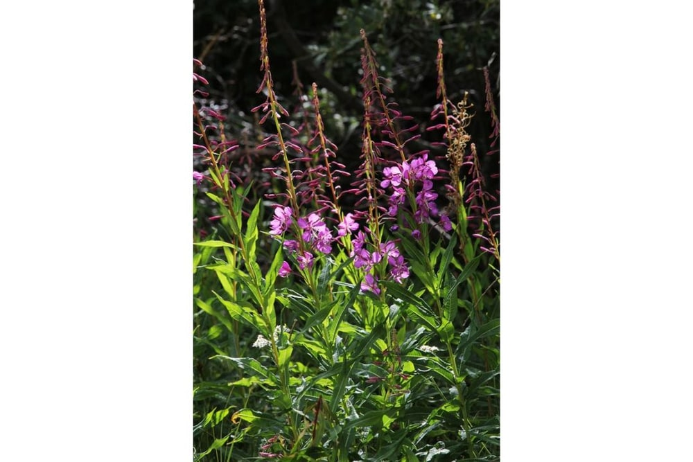 Stand of Fireweed