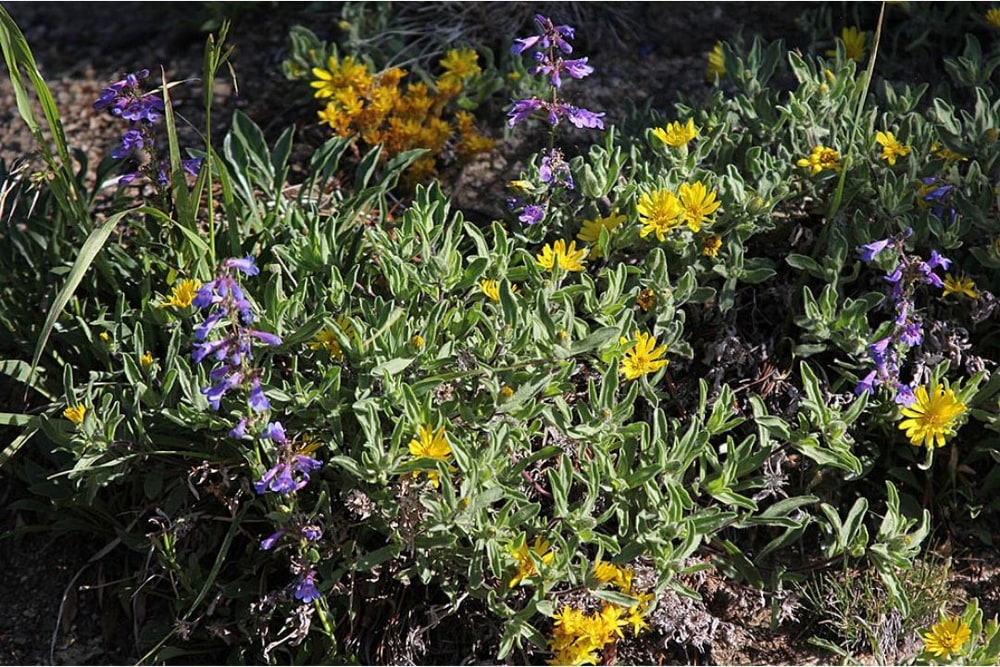 Mixed subalpine flowers