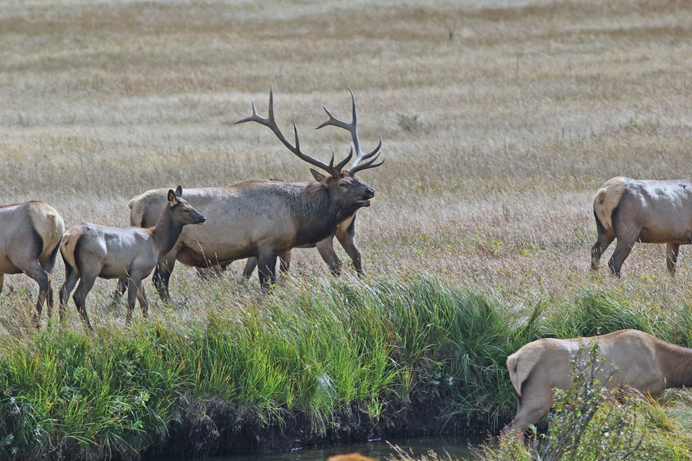 Elk bull and calf