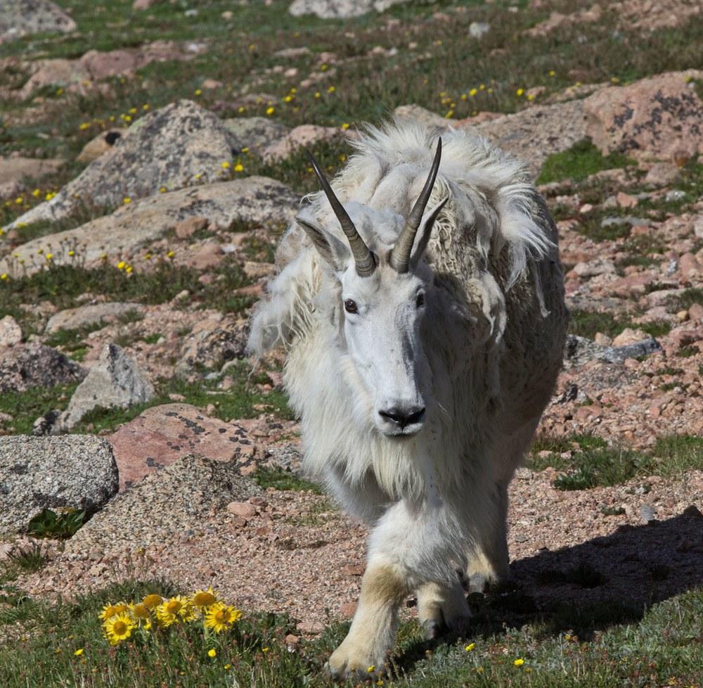 Mountain Goat in alpine wildflowers