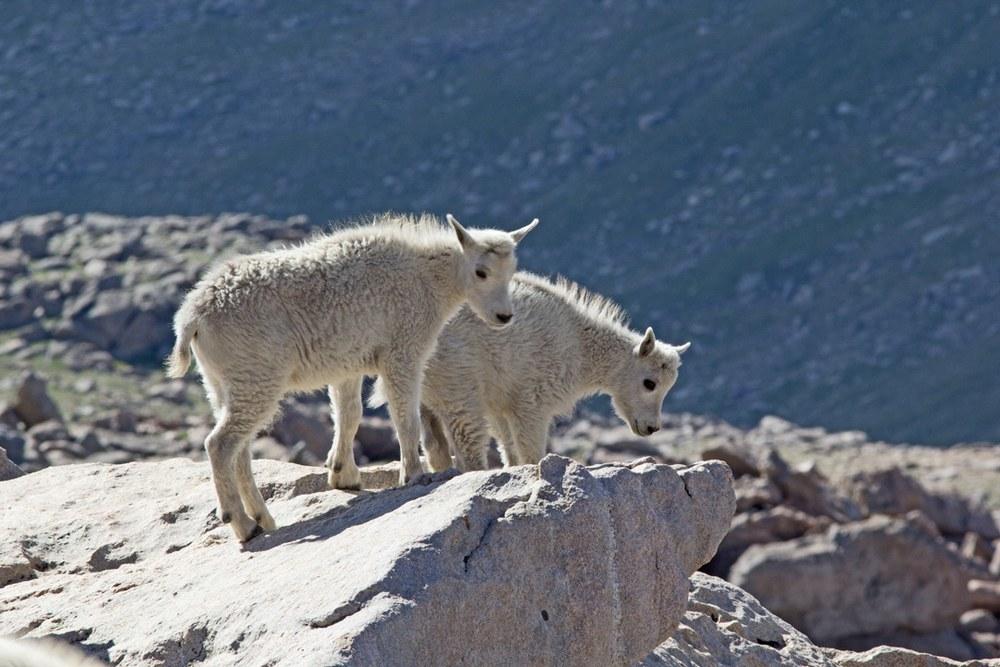 Mountain Goat kids survey their kingdom