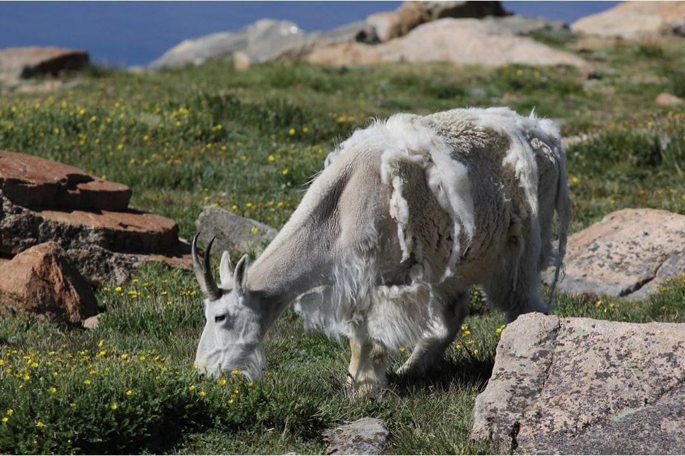 Mountain Goat grazing
