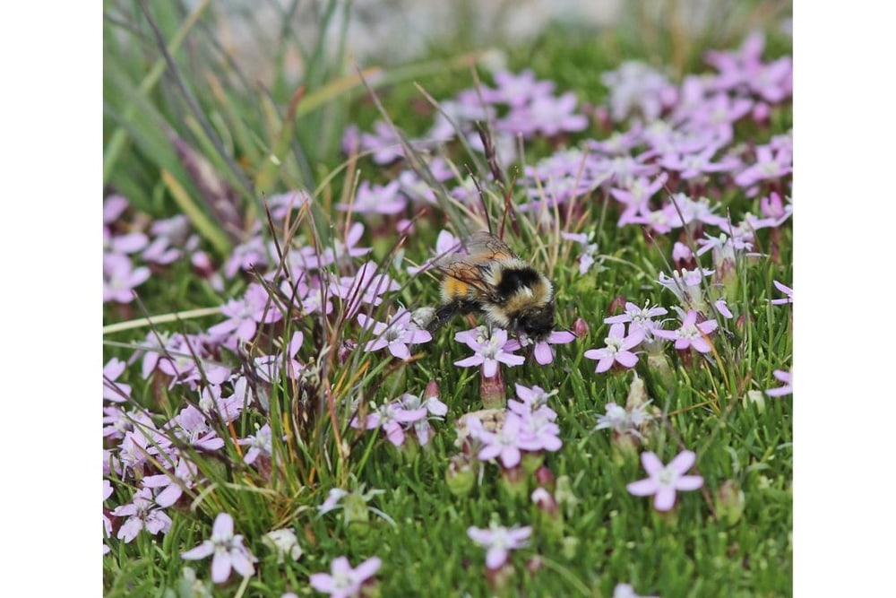 Moss Campion with Bumble Bee