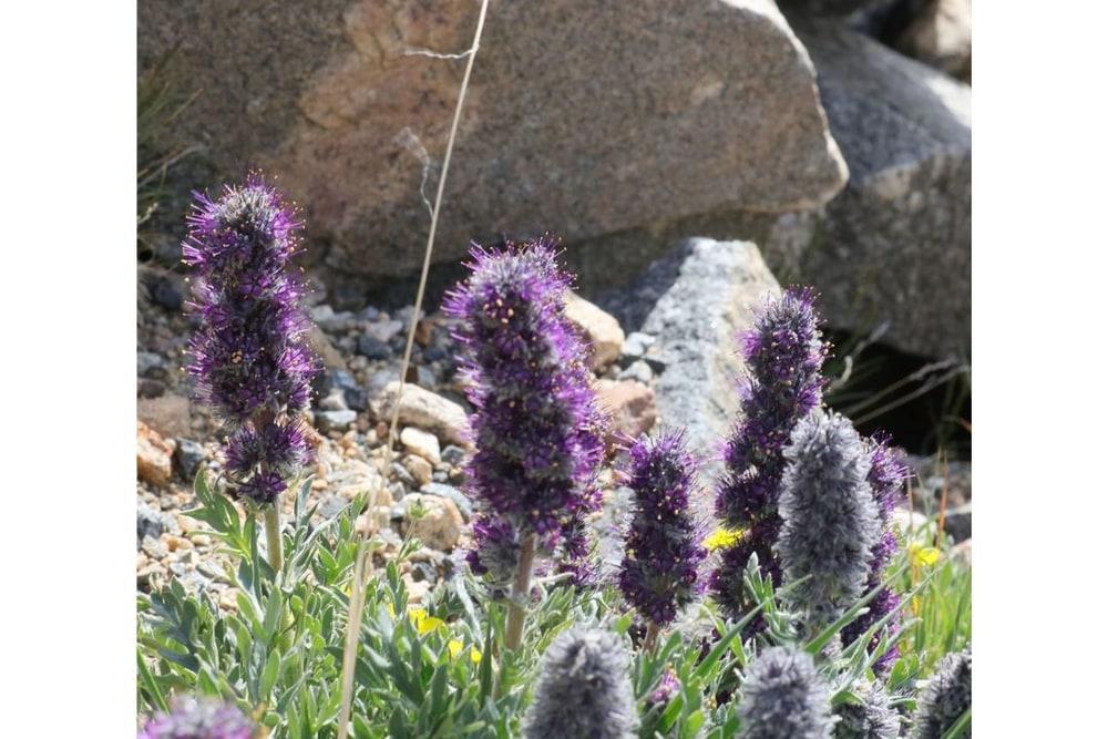 Silky Phacelia (Purple Fringe)