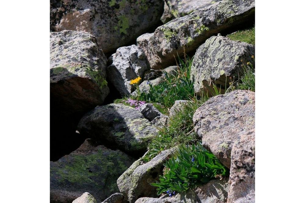 Mixed Alpine Wildflowers