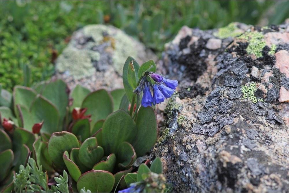 Unidentified alpine wildflower