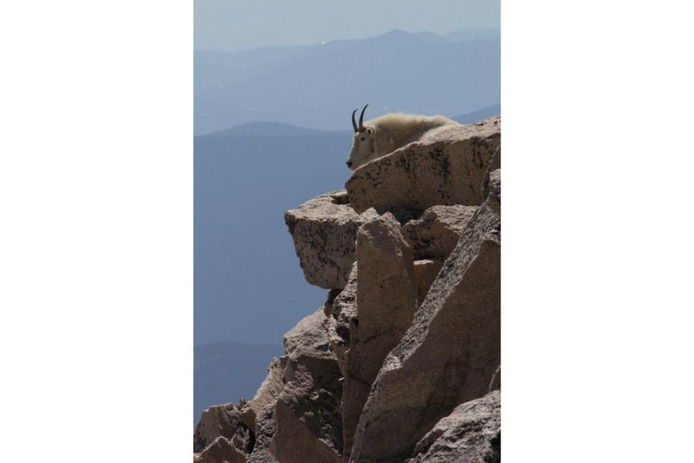Mountain Goat resting on rock shelf