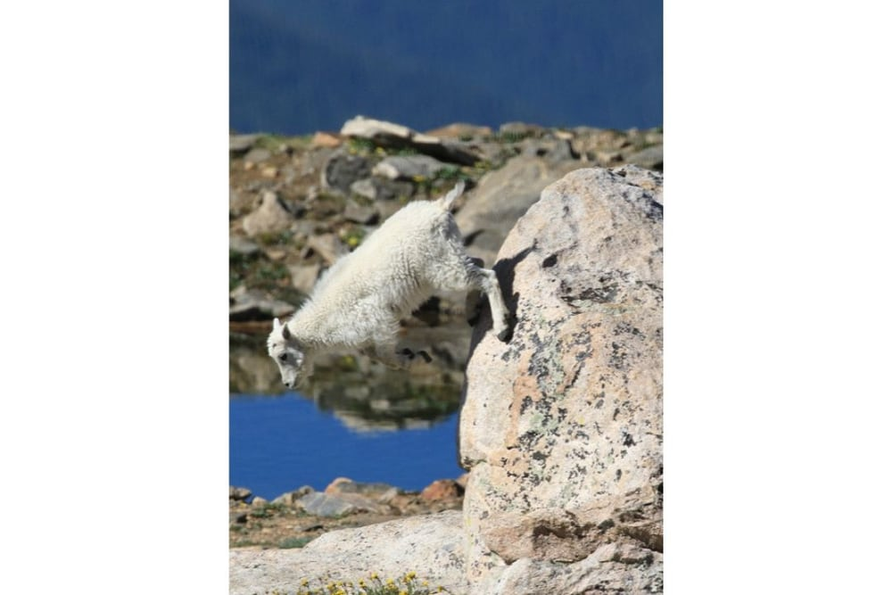 Mountain Goat Kid leaping down from boulder