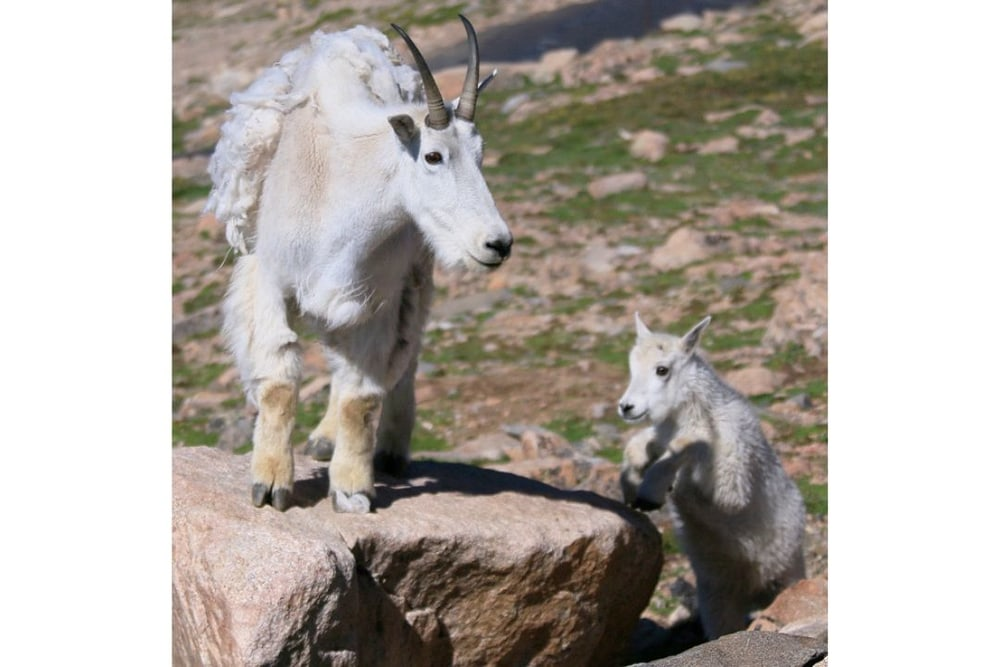 Mountain Goat Nannie and Kid