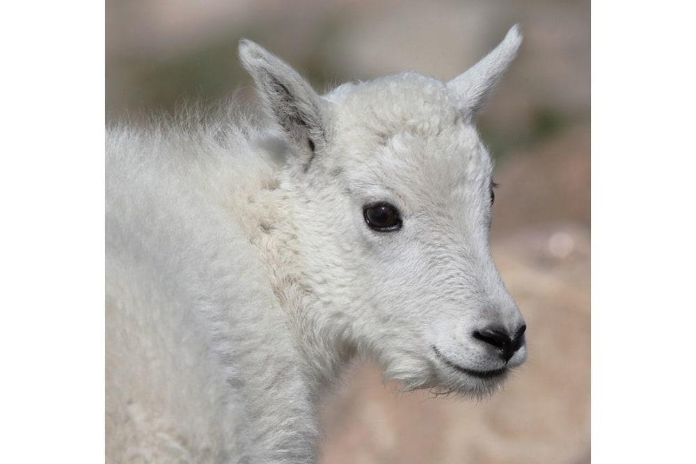 Mountain Goat kid portrait