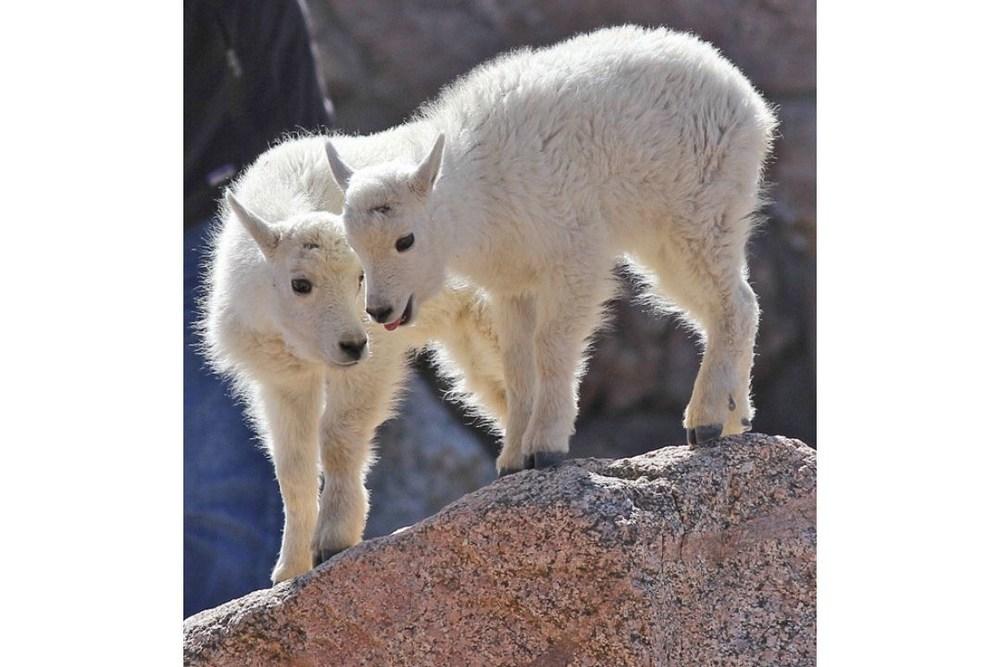 2 Mountain Goat kids