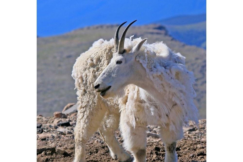 Mountain Goat nannie