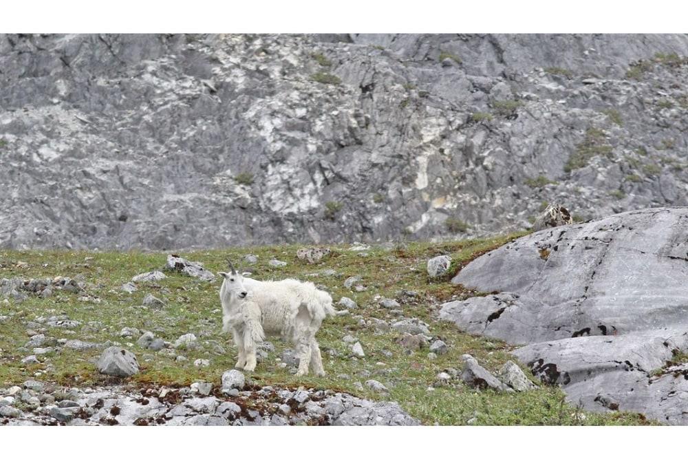 Glacier Bay, Alaska - native Mountain Goats