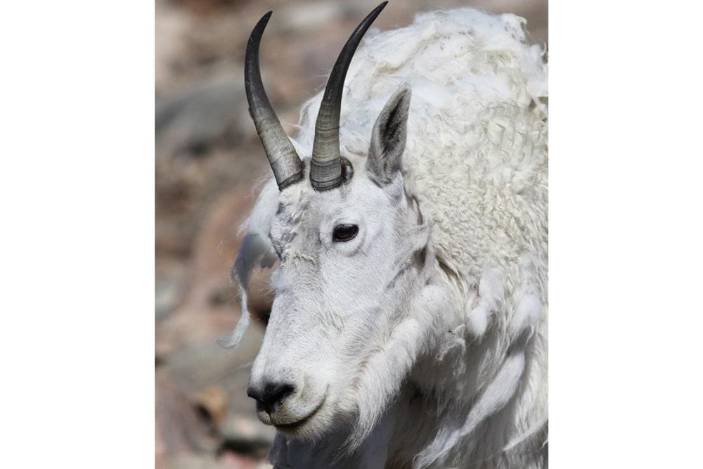Mountain Goat face portrait