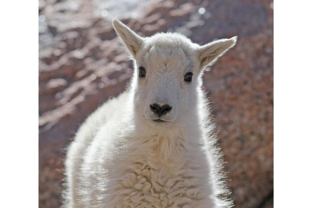 Curious Mountain Goat Kid portrait