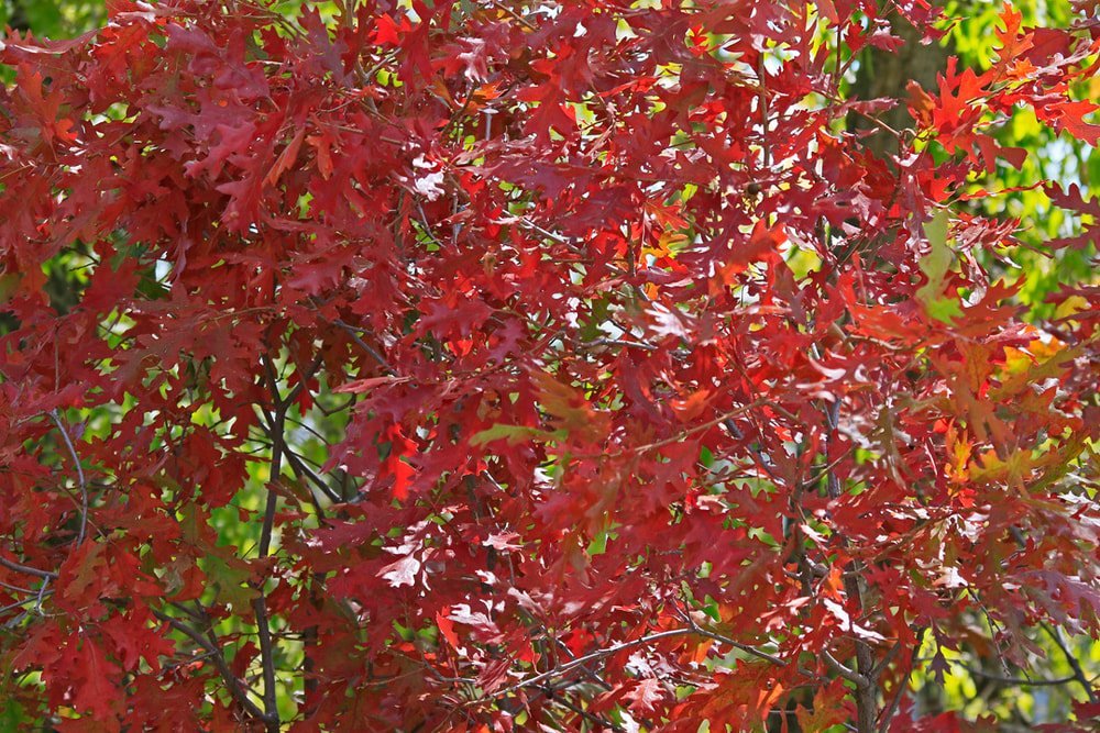 Bright red Oak Leaves, Black Canyon of the Gunnison, north rim