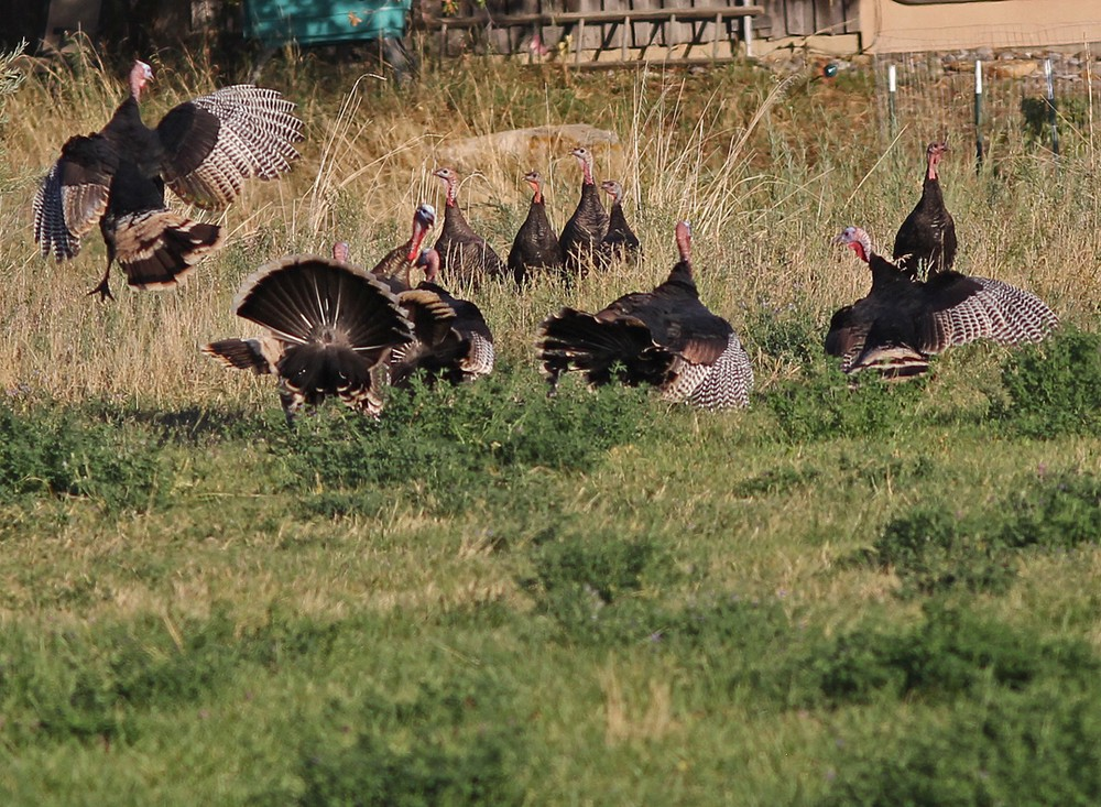 Out-of-season Challenges, Wild Turkeys