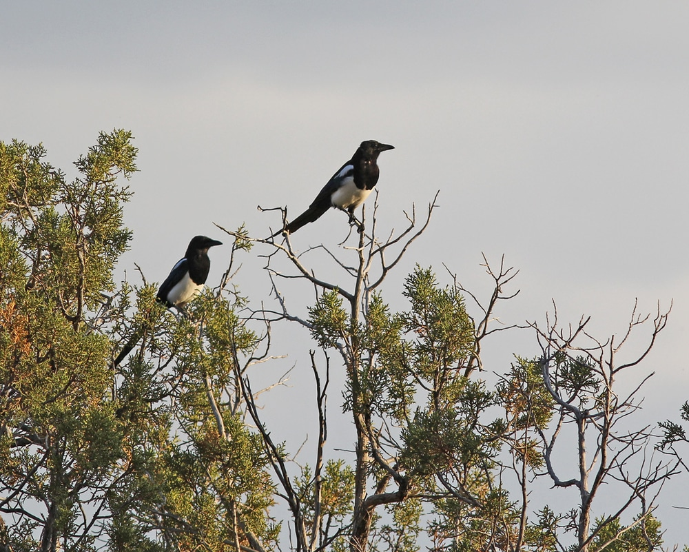 Two Black-billed Magpies in a tree