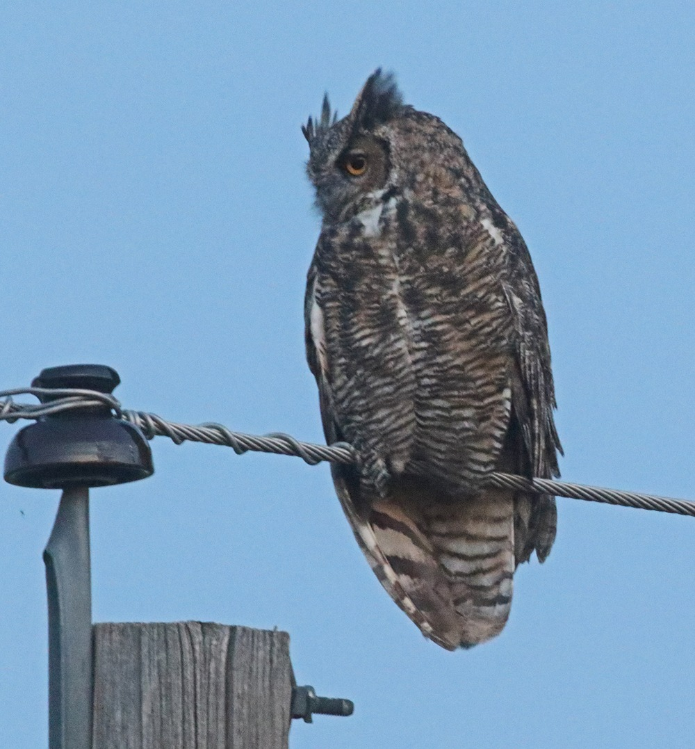 Perched Great Horned Owl looking left