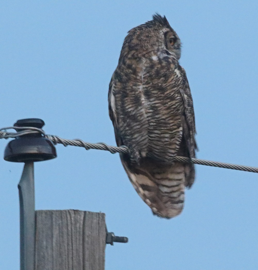 Perched Great Horned Owl looking right
