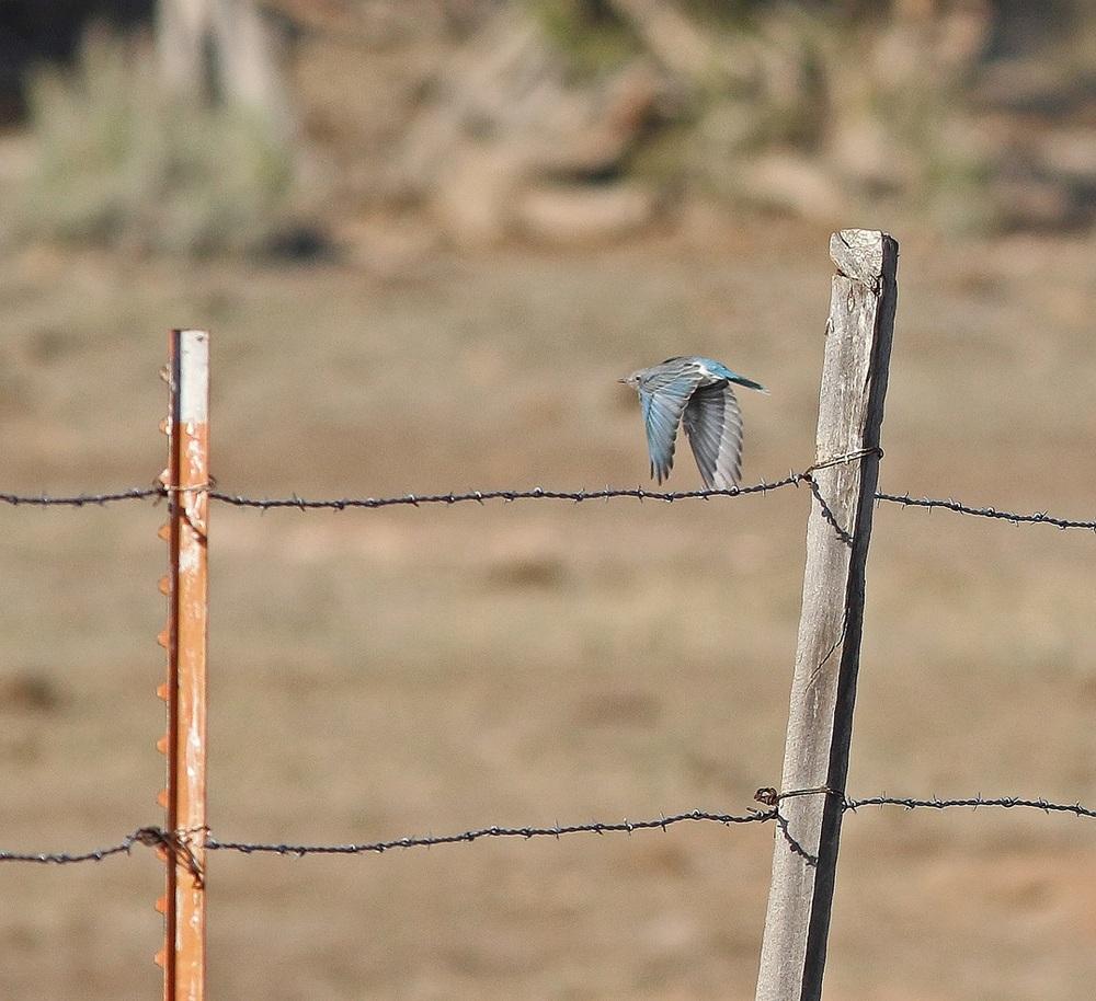 Mountain Bluebird taking wing.