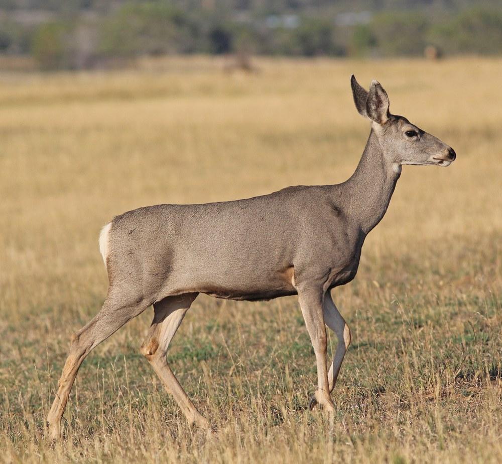 Clasic Mule Deer Doe walking