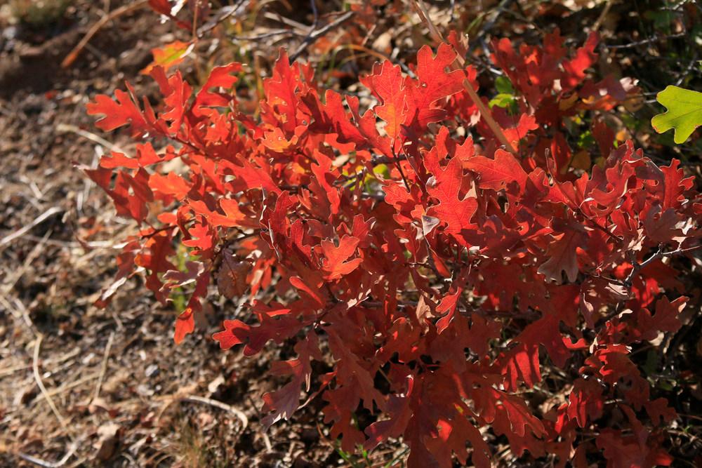 Bright red oak leaves