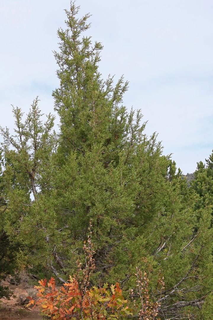 Younger Juniper tree.