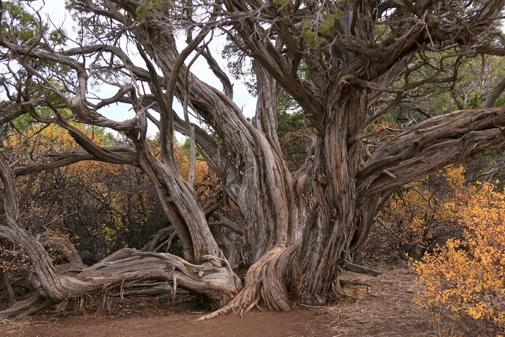 One of the oldest in the U.S., almost 800 year old Juniper.