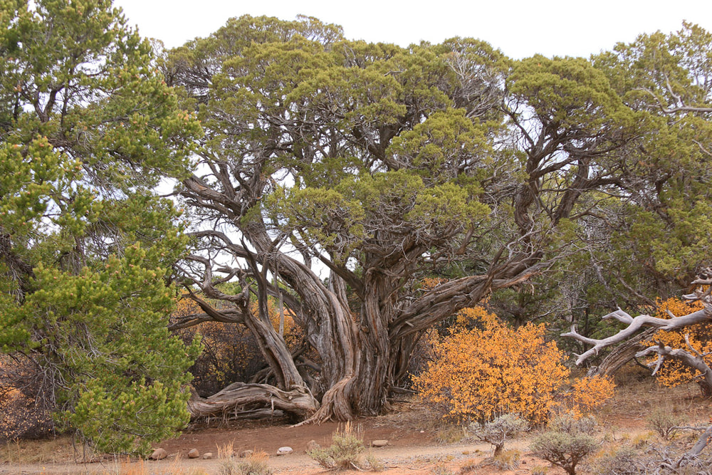 Distance shot of old juniper tree.
