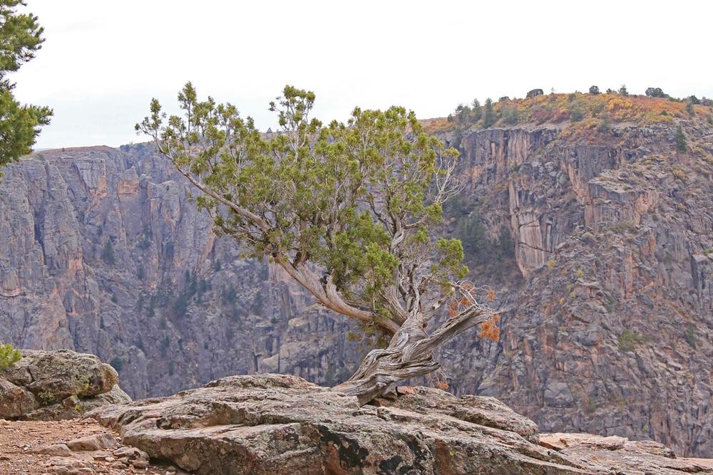 Old juniper looking like a Japanese bonsai sculpture.