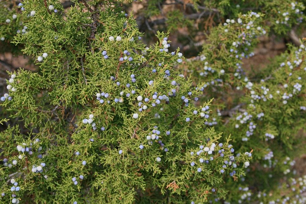 "Example of Juniper ""berries."""