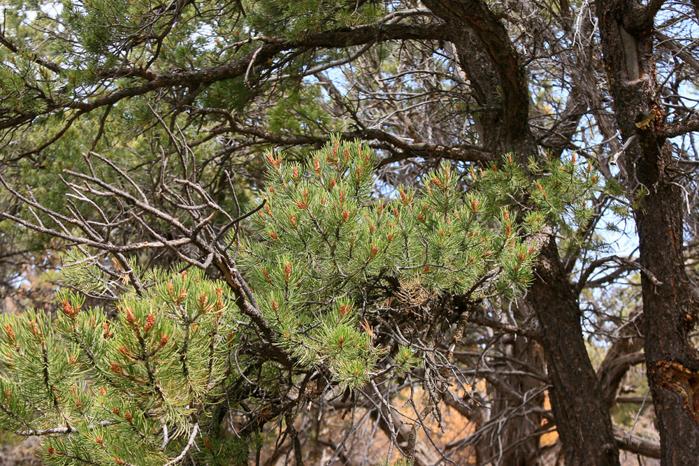 Closeup of Pinyon Pine branch with small cones.