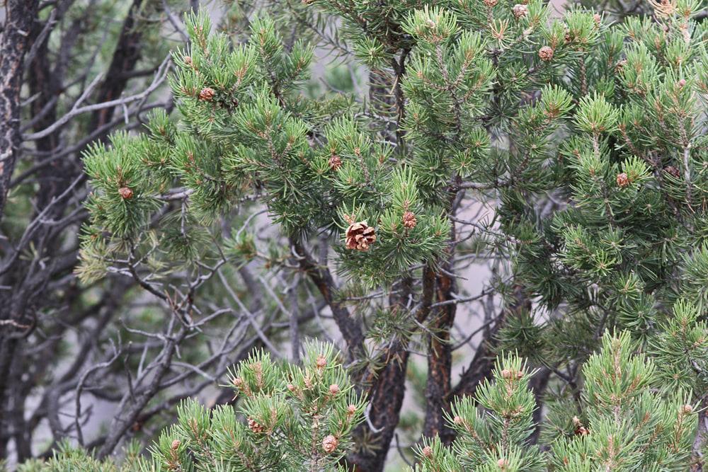 Pinyon Pine tree.