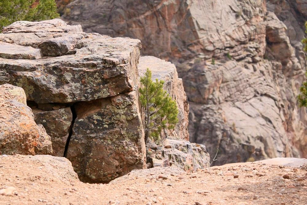 Baby Pinyon Pine of rock edge.