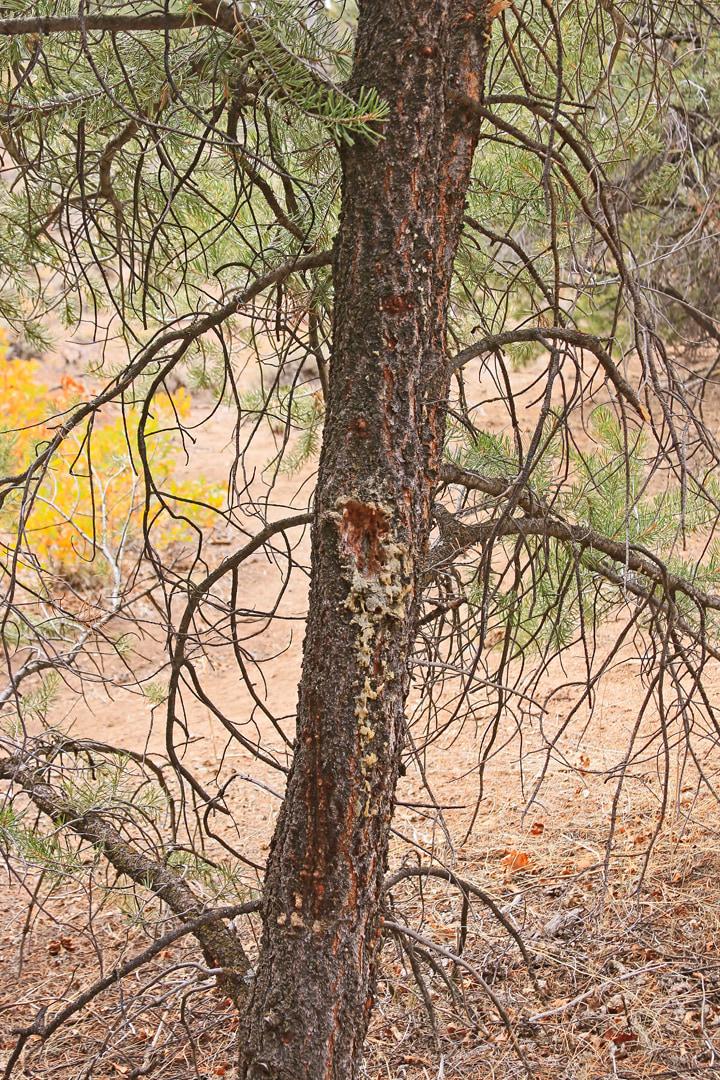 Sapsucker tree.