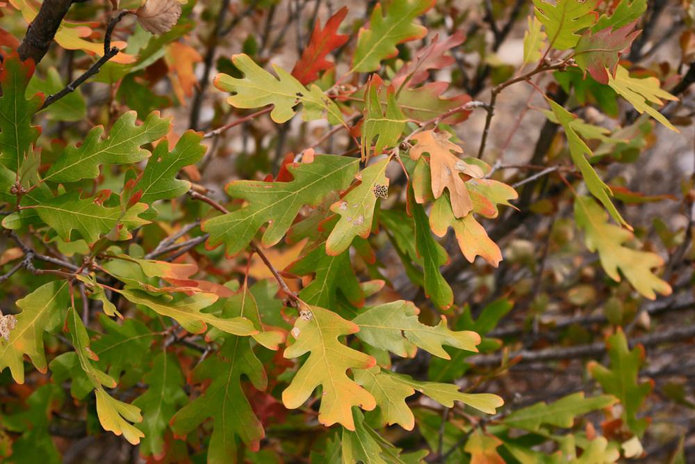 Changing oak.