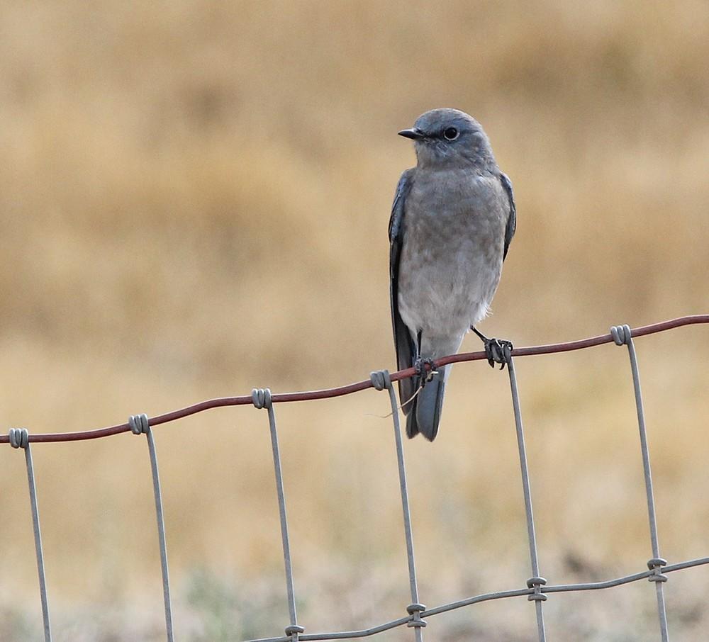 Mountain Bluebird on fence.
