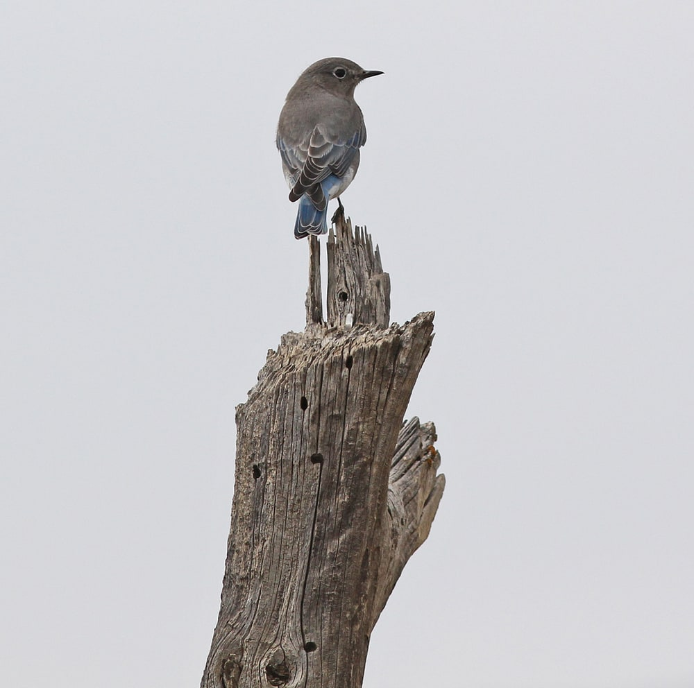 Now, for some Mountain Bluebirds, who are finally cooperating!