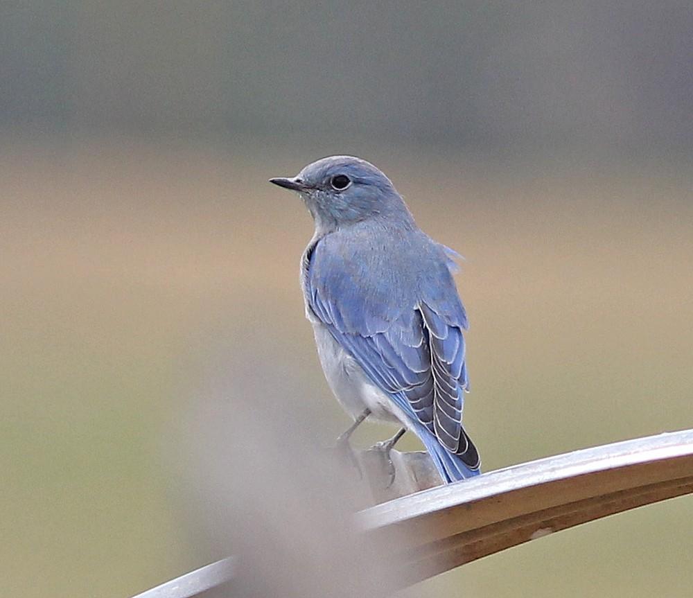 Mtn. Bluebird from the rear.
