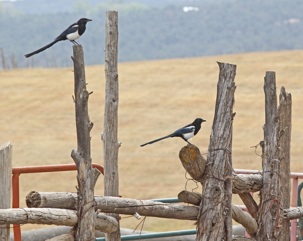 Black-billed Magpies in the farm yard.
