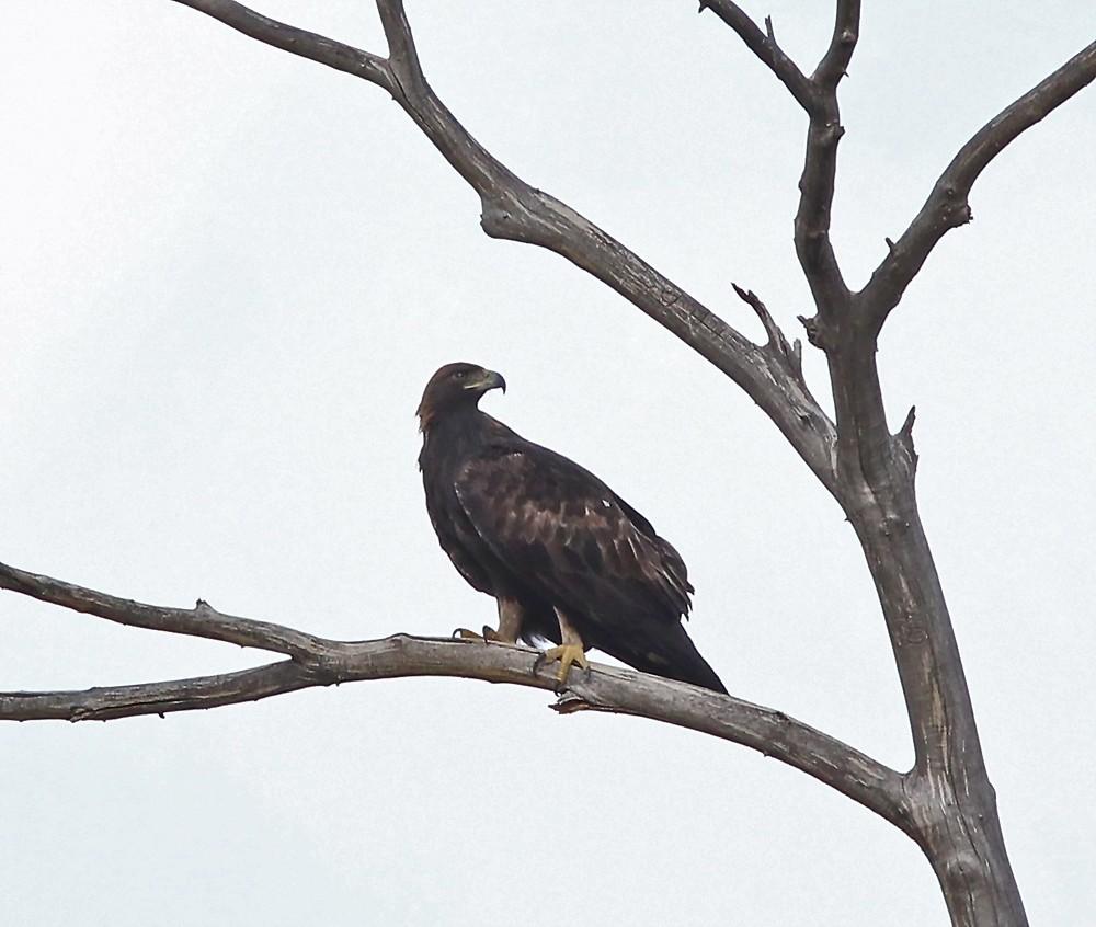 Distant perched Golden Eagle