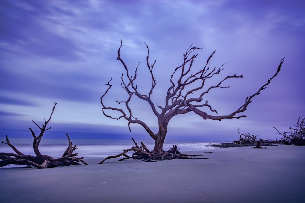 A tree at Driftwood Beach on Jekyll Island at sunrise