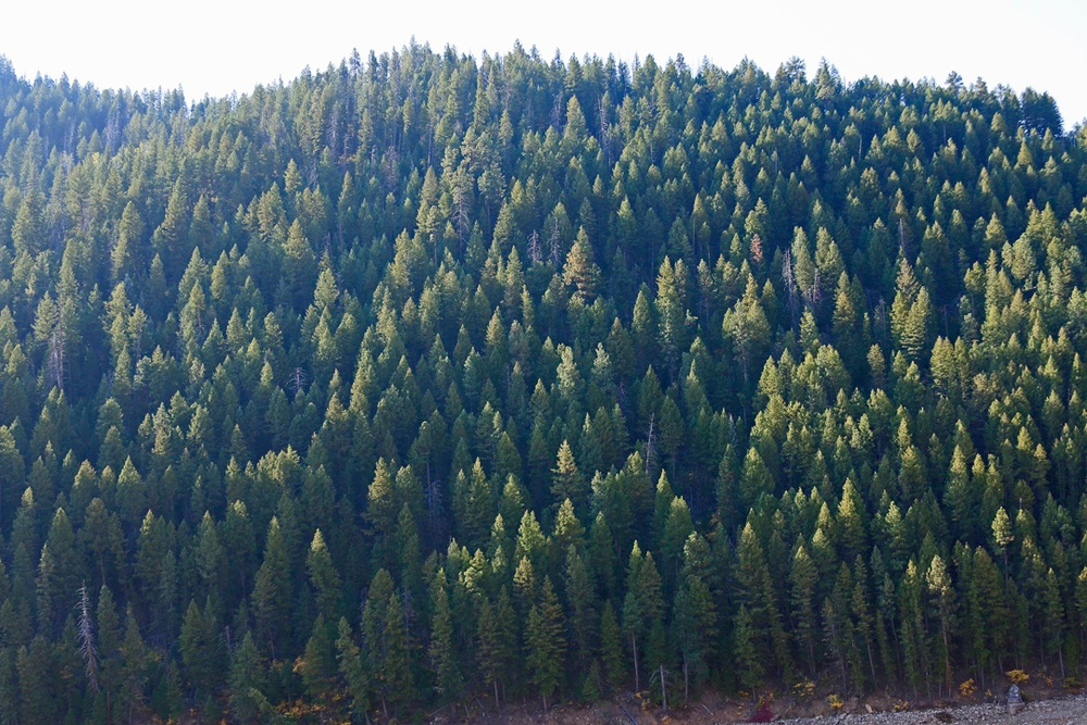Heavy pine forest